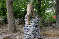 美洲狮 免版税图库摄影