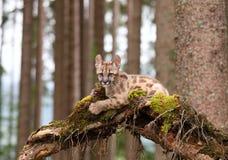 美洲狮concolor,小猫 免版税库存图片