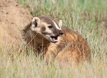 美洲獾 库存图片