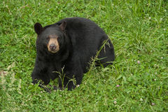 美洲的熊黑色熊属类 库存照片