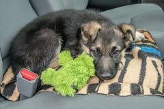 美满的等待在汽车的小狗和他的宠物 库存照片
