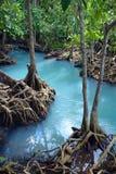 美洲红树再造林 图库摄影