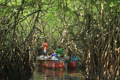 美洲红树再造林 库存照片