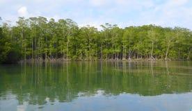 美洲红树再造林 库存图片