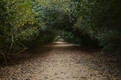 美洲红树再造林 免版税图库摄影