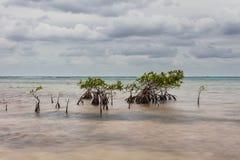 美洲红树和云彩在加勒比海 库存照片