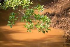 美洲红树和溪在阳光下 免版税图库摄影