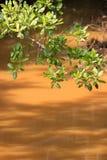 美洲红树和溪在阳光下 库存照片