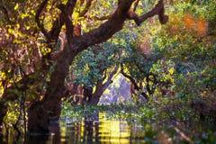 美洲红树在柬埔寨 免版税库存照片
