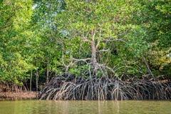 美洲红树处于低潮中 免版税库存图片