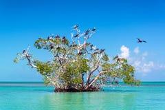 美洲红树树和Frigatebirds 库存图片