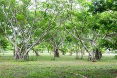 美洲红树树在嫩绿的森林里 免版税库存照片