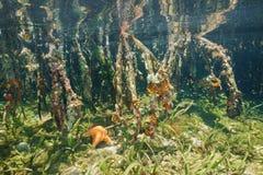 美洲红树树根源水下的生态系 免版税库存照片