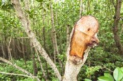 美洲红树树砍 免版税库存图片