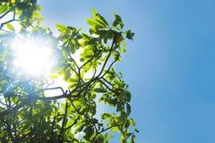 美洲红树树 免版税库存图片