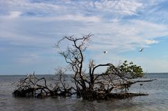 美洲红树树 库存照片