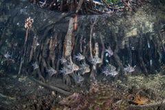 美洲红树根和鱼 免版税库存照片