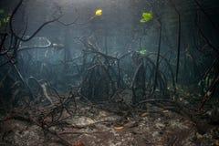 美洲红树根源在水面下 免版税图库摄影