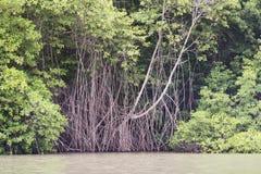 美洲红树根 免版税库存照片