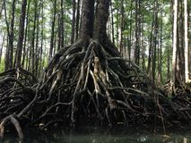 美洲红树根 图库摄影
