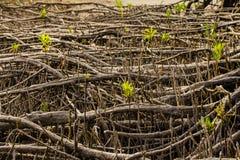 美洲红树根 库存照片