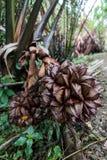 美洲红树棕榈(Nypa fruticans)果子 t果子的特写镜头  库存图片