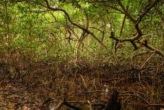 美洲红树森林在哥伦比亚,海岛加勒比Mucura 免版税库存照片