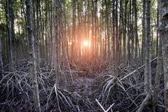 美洲红树森林在泰国的沼泽地 库存照片