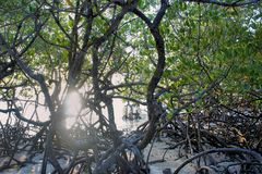 美洲红树森林在巴拉望岛 图库摄影