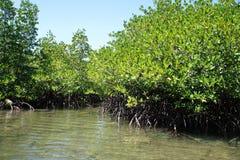 美洲红树森林在巴拉望岛 免版税库存图片