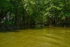 美洲红树森林在Chantaburi,泰国 库存图片