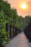 美洲红树森林木板走道 库存照片