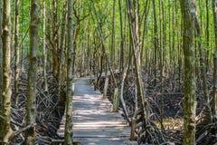 美洲红树森林步行 库存照片