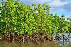美洲红树植物 图库摄影