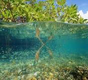 美洲红树生态系在和在海下 免版税库存照片