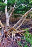 美洲红树生态系沼泽地 图库摄影