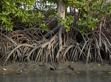 美洲红树生态系泰国 免版税库存照片