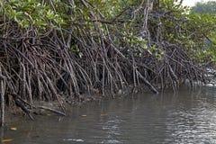 美洲红树生态系泰国 图库摄影