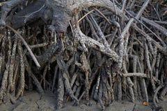美洲红树生态系泰国 免版税库存图片