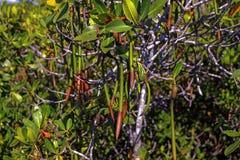 美洲红树种子 免版税图库摄影