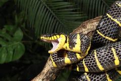 美洲红树蛇(Boiga dendrophila) 库存照片