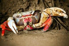 美洲红树螃蟹攻击 免版税库存图片