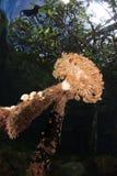 美洲红树里奇,王侯ampat,印度尼西亚04 免版税库存照片