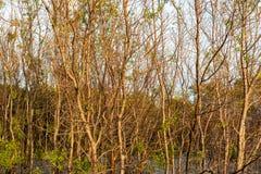 美洲红树 库存图片