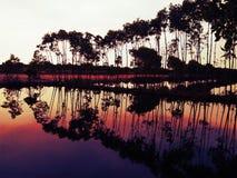 美洲红树 免版税图库摄影