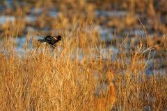 美洲红翼鸫在沼泽地 库存图片