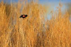 美洲红翼鸫在沼泽 库存照片