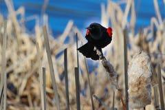 美洲红翼鸫坐干香蒲有蓝色背景 库存照片