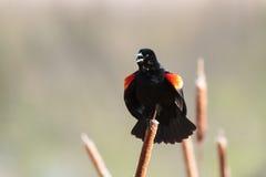 美洲红翼鸫坐猫尾巴 免版税库存照片