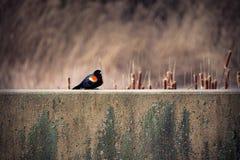 美洲红翼鸫坐水泥墙壁 库存图片